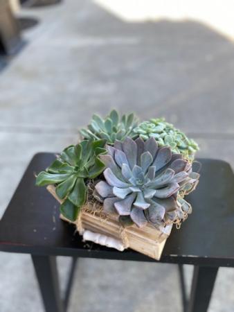 Succulent Box Plant