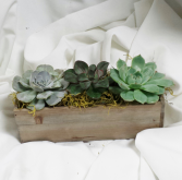 Succulent Boxed Green Plants