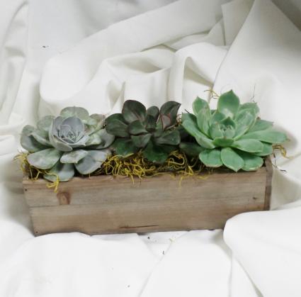 Succulent Boxed Green Plants