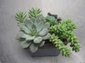 Succulent Dish Potted