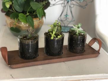 Succulent Flight Succulents