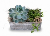 Succulent Garden Mixed succulents in wooden container