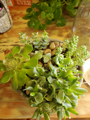Succulent Garden plant arrangement in Caldwell, ID | Bayberries Flowers & Gifts