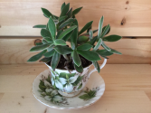 Succulent in a Tea Cup