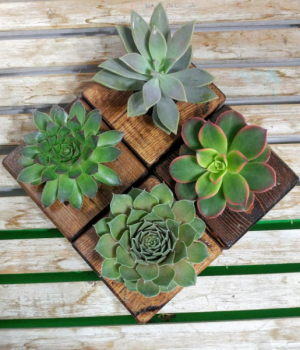 Succulent of the Month Club Plant Subscription in Barre, VT | Forget Me Not Flowers and Gifts LLC