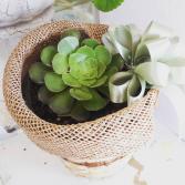 Succulent Plant Plant