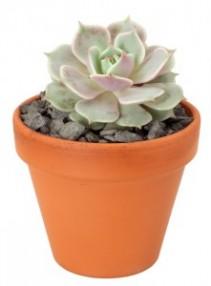 Succulent Plant Succulent / Cactus