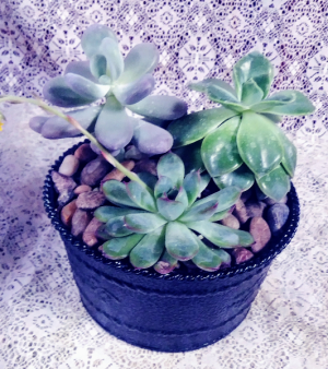 Succulent Tin  in Dayton, OH | ED SMITH FLOWERS & GIFTS INC.