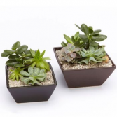 Succulents Dish Small  Succulents Dish (Only One)