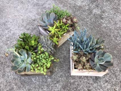 Succulents box A variety of succulents in a wooden box.