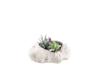 Succulents on the Rock Plant