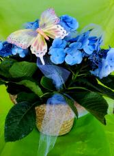 Summer Blue Skies Hydrangea Plant Arrangement