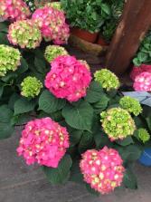 Summer Crush Hydrangea Hydrangea Shrub Decorated