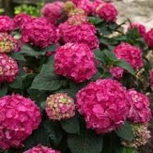 Summer Crush Hydrangea Repeat Blooming Hardy Repeat Blooming Hydrangea
