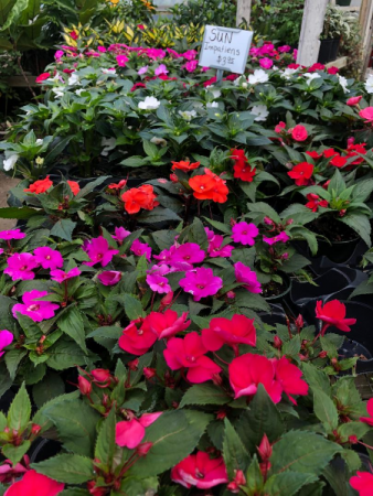 Sun Impatiens Greenhouse