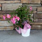 Sun Parasol Basket Blooming Plant