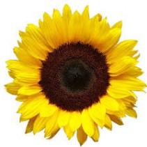 Sunflower Bouquet 10 stems 30.00  40.00  50.00