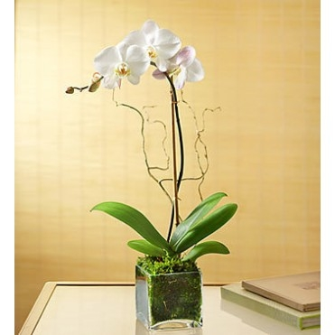 Phalaenopsis Orchid Simplicity Indoor Plant