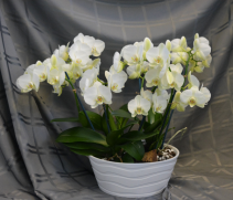 SUNNING WHITE ORCHID  ORCHID PLANTER