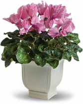 Sunny Cyclamen Blooming Plant