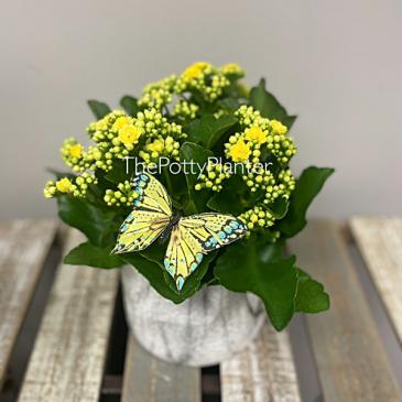 Sunny Kalanchoe Plant