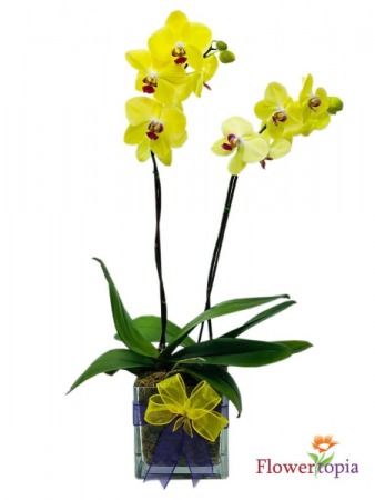Sunny Orchid Mini Orchid Plant