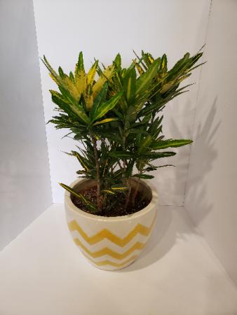 Sunny Star Croton plant