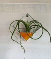 Sunset Square Airplanter Plant