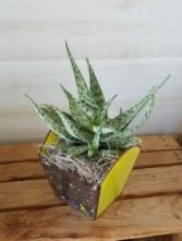 Sunshine Succulent Planter Plant