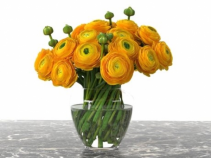 Sunshine  hello my dear friend  Yellow ranuncluse