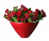 Sweet Kalanchoe  Blooming Plants