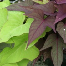 Sweet Potato Vine Annual
