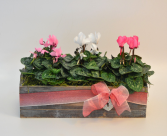 Sweet Romance Flowering Plant