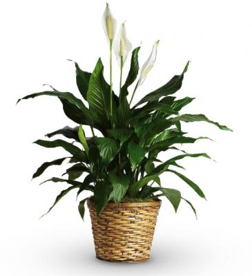 Sympathy Spathiphyllum