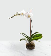 Sympathy White Orchid Plant