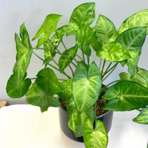 Syngonium Podophyllum 'Arrowhead Plant'