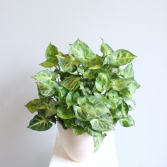 Syngonium 'Arrowhead Plant' *Local Delivery Only*