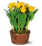 PottedTulips  Blooming Plant