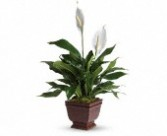 Peace Lily-Spath Plant