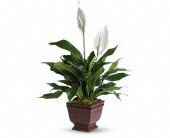 T272-3A Spath Plant