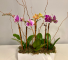 Table top orchids Flowering Plant