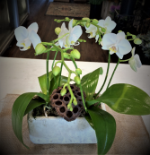 Tabletop Orchids Plant