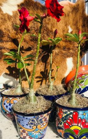 Talavera Desert Rose Plant