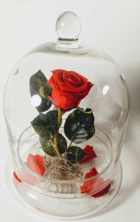 Tale As Old As Time Preserved Rose