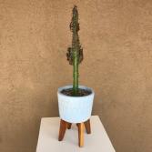 Tall Cactus Cactus Plant