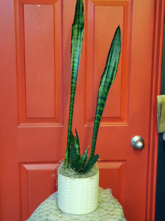Tall Snake Plant