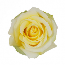 Tara Light Yellow Rose Ravishing Rose Color Option