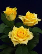 Tara  Rose