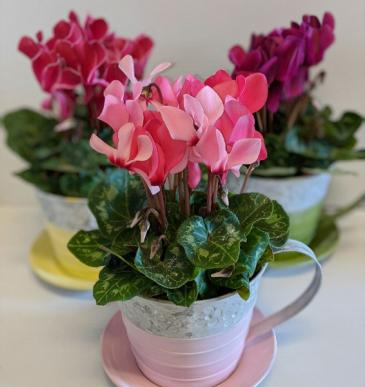 Tea Time Cylamens Plant