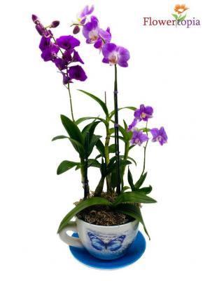 Teadorable Orchid Plant in Miami, FL | FLOWERTOPIA